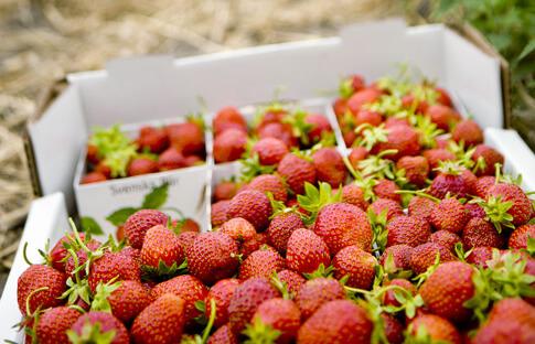 Erdbeeren auf Öland