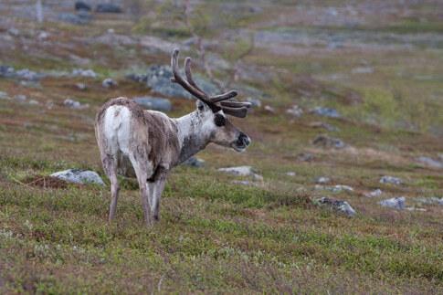 Rentier in Schwedisch-Lappland