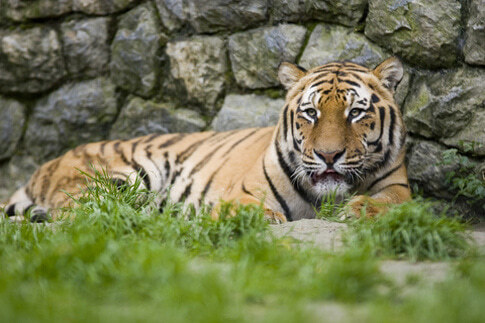 Tiger im Djurpark auf Öland