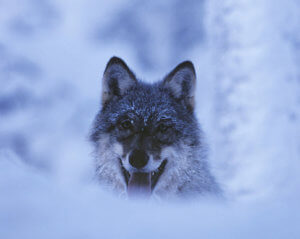 Wolf in Lappland